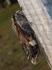 New paper - taxonomy of cicada pathogens!