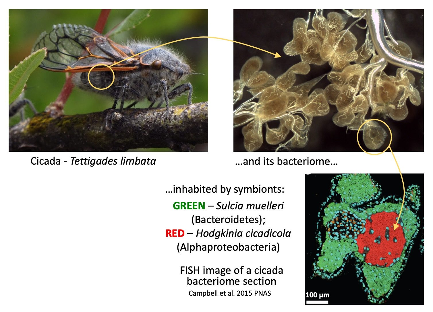 The cicada bacteriome: localization and contents